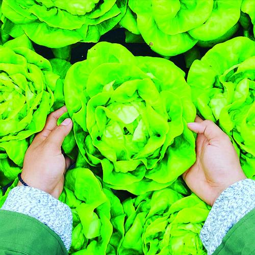 verdura lattuga